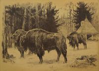 Żubry, 1912 r.